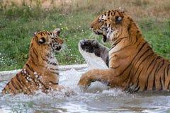 Lucha real de los tigres de Bengala foto de archivo
