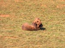 Luchar dos osos marrones Imagenes de archivo