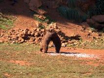 Luchar dos osos marrones Foto de archivo libre de regalías
