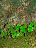 Luchi pata. Moss on the wall stock photos