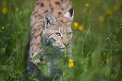 Luchs, der im Gras schleicht Lizenzfreie Stockfotografie
