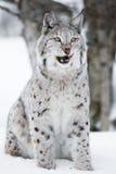 Luchs, der im Schnee sitzt und Lippen leckt Stockfotografie