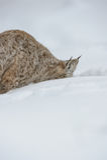 Luchs, der in Schnee gräbt Lizenzfreies Stockbild