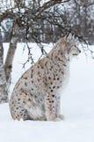 Luchs, der unter einem Baum im Schnee sitzt Stockfotografie