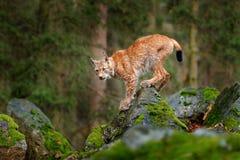 Luchs, eurasische Wildkatze, die auf grünen Moosstein mit grünem Wald im Hintergrund geht Schönes Tier im Naturlebensraum, Germa Stockfotografie