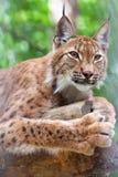 Luchs gegen Wildneßbereich Lizenzfreie Stockbilder