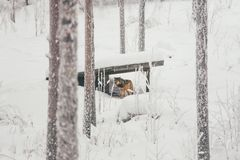 Luchs im Schneeweißwald stockfotografie