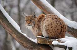 Luchs im Winter stockfotografie