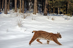 Luchs im Winter stockfoto