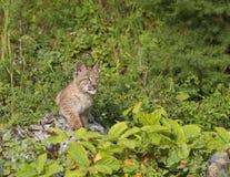 Luchs-Kätzchen auf einem Felsen Stockfoto