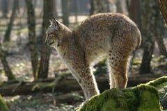 Luchs - Katze zurück gewölbt Lizenzfreie Stockbilder