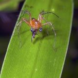 Luchs-Spinne, die auf einem Opfer speist stockfoto