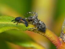 Luchs-Spinne und eine Marienkäfer-Nymphe Lizenzfreies Stockfoto