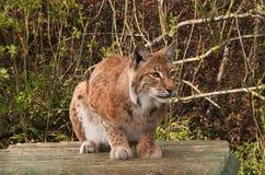Luchs, wilde Katze, überwachend Stockbild