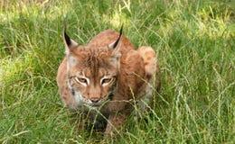 Luchs, wilde Katze, überwachend, die Kamera Lizenzfreies Stockfoto