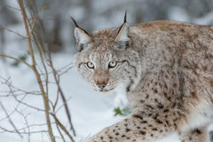 Luchs-Wildkatze Lizenzfreie Stockfotos