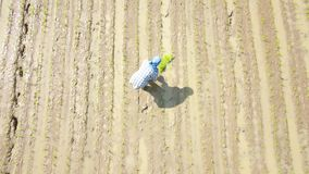 Lucht Foto De landbouwers planten met de hand rijst in de padievelden Het is traditioneel w stock footage
