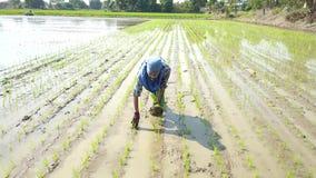 Lucht Foto De landbouwers planten met de hand rijst in de padievelden Het is traditioneel w stock video
