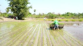Lucht Foto Landbouwers die zaailingen van rijst voor het planten in padievelden vervoeren stock videobeelden