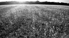 Lucht4k zijvlucht over een gebied van koolzaad De zon glanst, laag op de horizon bovenop bomen Mooie zwart-wit stock videobeelden