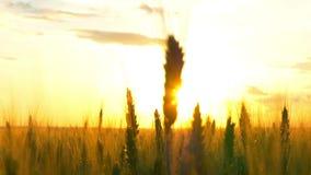 LUCHT LANGZAME MOTIE: Een mooie gouden zon die door de jonge tarwearen op een tarwegebied bij zonsondergang glanzen stock videobeelden