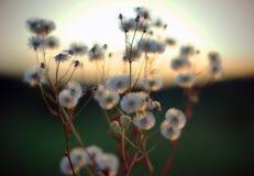 Lucht pluizige bloemen Royalty-vrije Stock Fotografie