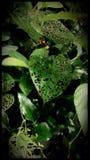 LuchtAardappelplant royalty-vrije stock afbeeldingen