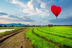 Luchtballonnen die over Vers padieveld vliegen Stock Fotografie