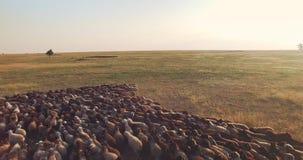 Luchtcamera die zich achteruit over troep van schapen in Oekraïense steppe bewegen stock footage