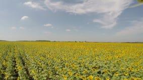 Luchtdie4K Zonnebloemgebied van lucht in de heldere, zonnige ochtend, met blauwe hemel met verspreide wolken wordt bekeken - lage stock footage