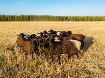 Luchthommelmening, een kudde van schapen die in een weide dichtbij weiden stock afbeelding