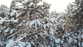 Luchthommelmening van witte sparren en sparren stock videobeelden