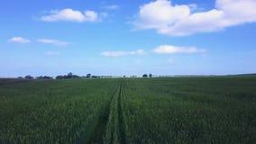 Luchthommelvlucht over de rijen van tarwe, het naderbij komen oogstseizoen stock videobeelden