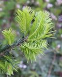Luchtig Pale Green Needles tegen Vaag Gray Green Background Stock Afbeeldingen