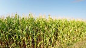 Luchtlandschap van graangewassen die langzaam aan het juiste, zijaanzicht die van het gebied vooruitgaan, zich boven de landweg b stock footage