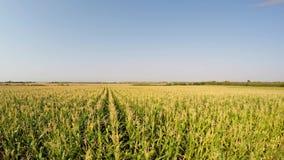 Luchtlandschap van graangewassen die langzaam aan het zijaanzicht van het gebied dalen Geregistreerd in 4k stock footage