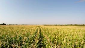 Luchtlandschap van graangewassen die langzaam vooruit tussen graanlijnen vooruitgaan, vooraanzicht Geregistreerd in 4k stock video