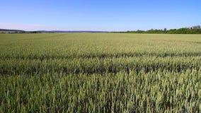 Luchtlengte over een gebied van tarwe op een Zonnige dag Jonge tarwe die in de wind slingeren stock video