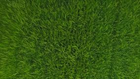 Luchtlengte van Groene die het Grasgolven van het Tarwegebied door de Zomerwind worden bewogen De achtergrond van de aard stock footage