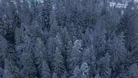 Luchtlengte van het bos van de de winterspar in de bergen Weergeven van hierboven van pijnboombomen met sneeuw worden behandeld d stock videobeelden
