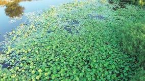 Luchtlengte van het vliegen over de vijver met een het groeien lotusbloem stock videobeelden