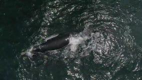 Luchtlengte van Zuidelijke Humback-walvis in Gansbaai, Zuiden Affrica stock footage