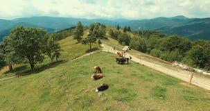 Luchtmening van de zomerplatteland met koeien stock videobeelden