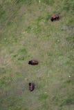 Luchtmening van een buffelskudde royalty-vrije stock afbeelding