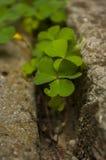 luchtmening van een flard van groene klavers Stock Foto's