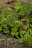 luchtmening van een flard van groene klavers Stock Afbeeldingen