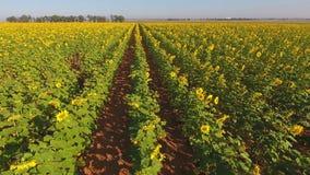 Luchtmening van een gebied van zonnebloemen stock footage