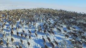 Luchtmening van kudde van rendier, die op sneeuw in toendra liep stock videobeelden
