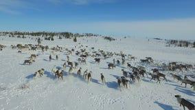 Luchtmening van kudde van rendier, die op sneeuw in toendra liep