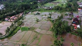 Luchtmening van padieveld Terrasvormig rijst en gebiedslandbouwbedrijf in de berg, vegeterian voedsel stock video